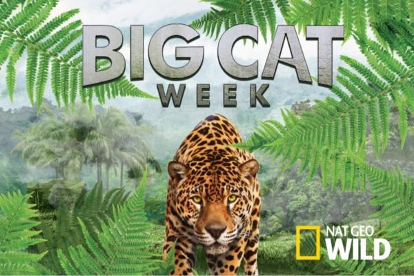 Big Cat Week: Une semaine de documentaires consacrée aux félins sur Nat Geo Wild
