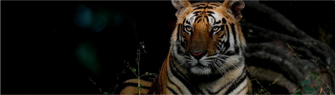 Les grands felins du monde à l'honneur sur National Geographic Wild à partir du 5 février
