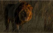 Les grands félins à nouveau à l'honneur sur National Geographic Wild avec le Big Cat Month en février