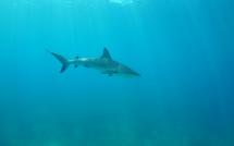 Shark Festival: Les requins à l'honneur en juin sur National Geographic Wild