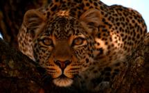Programmation spéciale félins en septembre sur la chaîne National Geographic Wild